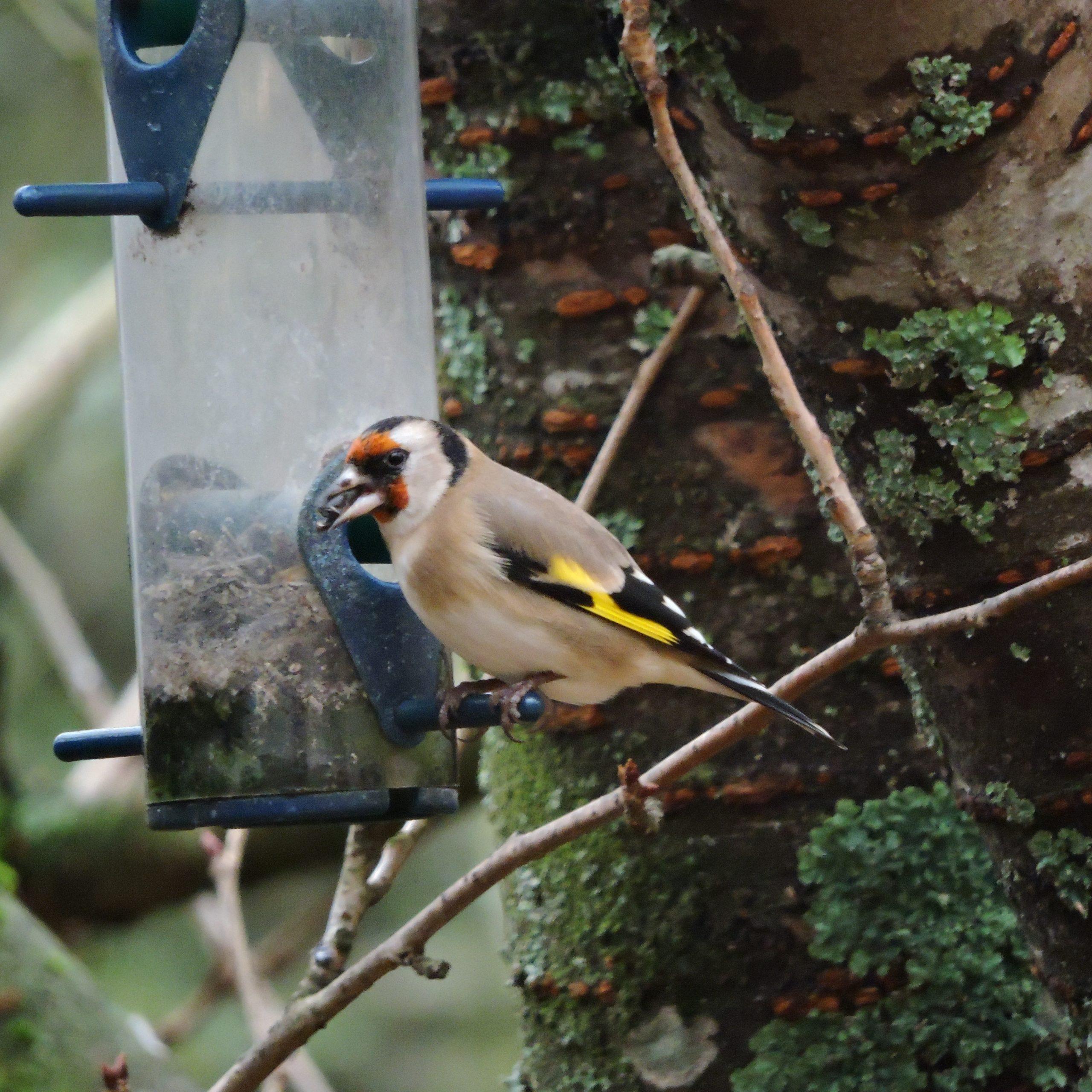 Chardonneret sur une mangeoir à oiseau