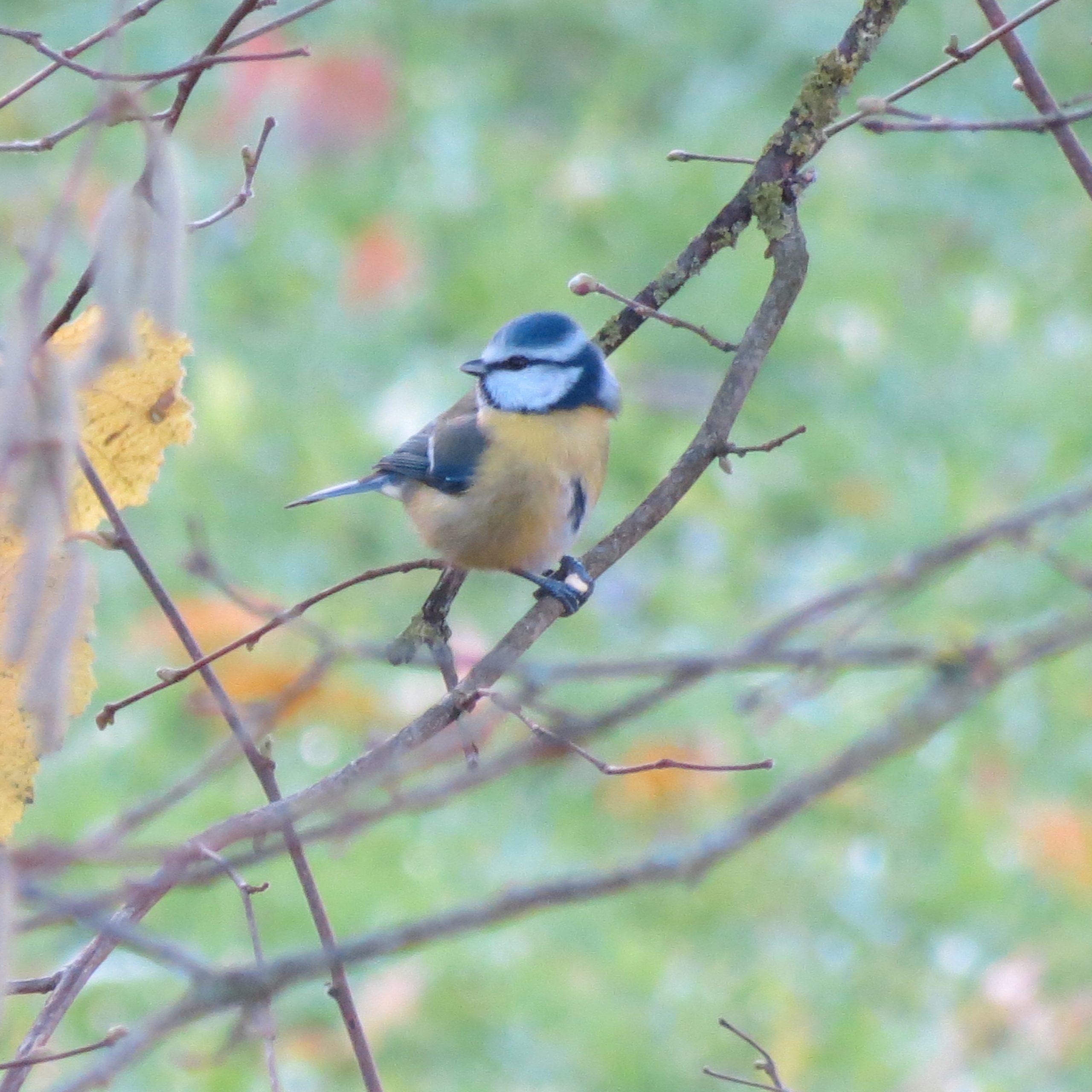 Mésange bleue sur une branche