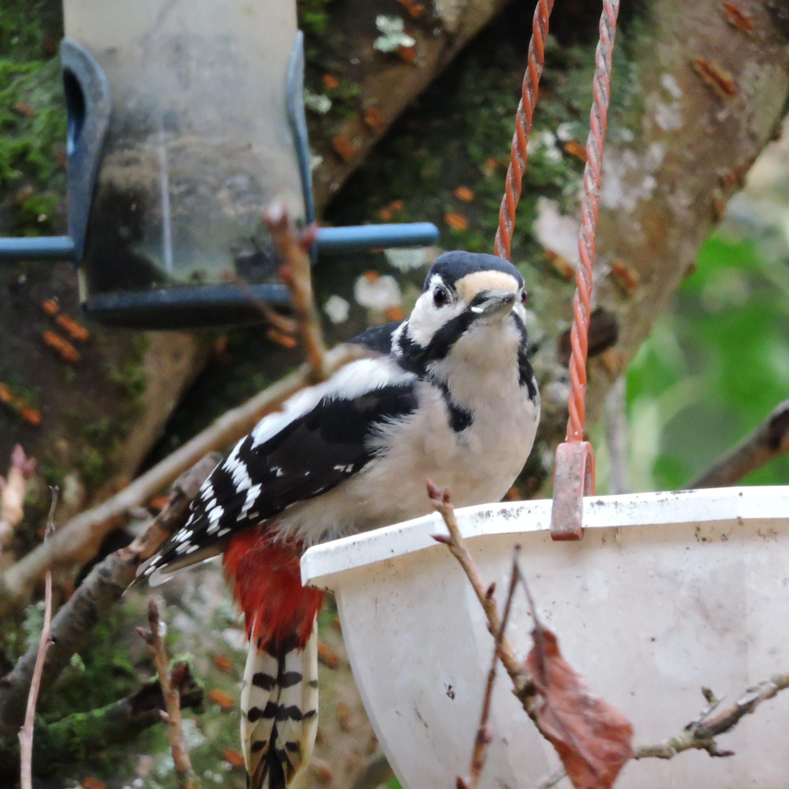 Piche épeiche sur une mangeoire à oiseau